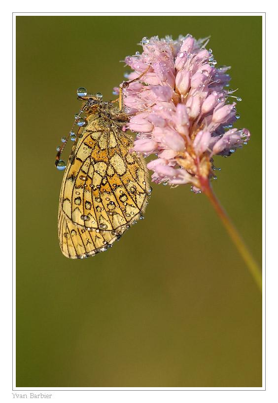 Butterfly by Yvan Barbier