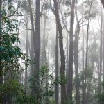 Australian Eucalyptus Rainforest in the morning mist.