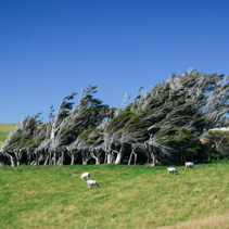 Windswept trees and grazing sheep located on the North Island of New Zealand