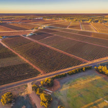 Aerial view of vineyards in winter at sunset. Riverland, South Australia