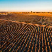 Rows of vines in South Australian vineyards in winter at sunset - aerial view