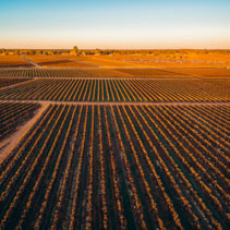 Rows of vines in South Australian vineyards in winter at sunset - aerial landscape