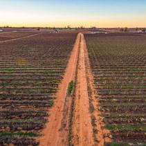 Dirt road passing through rows of vines in vineyard in South Australia