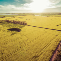 Aerial view of beautiful canola fields at sunset