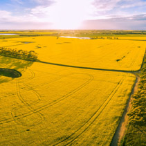 Aerial panorama of beautiful canola fields at sunset