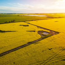 Beautiful canola field at sunset in Australia - aerial view