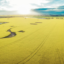 Aerial panorama of canola field at sunset