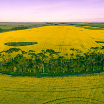 Aerial panoramic view of canola field at sunset