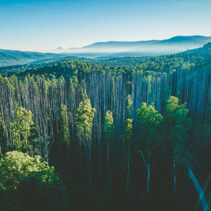 Aerial view of tall eucalyptus trees and mountains with lens flare