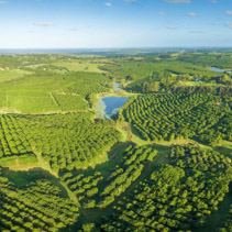 Aerial panorama of Macadamia Farm at sunset in New South Wales, Australia