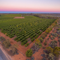 Agricultural fields in the Riverland region of South Australia at dusk