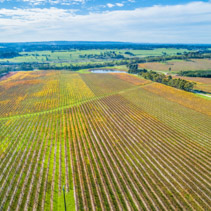 Aerial view of beautiful straight golden rows of large vineyard in Australia
