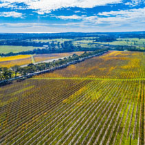 Huge vineyard on bright autumn day in Australia - aerial view