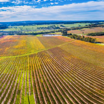 Wide aerial panorama of large vineyard in autumn near Red Hill, Victoria, Australia
