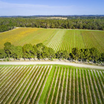 Aerial view of straight rows of vines in a winery.