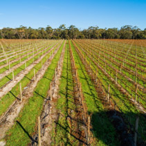 Perspective view of straight rows of vines in autumn in Australia