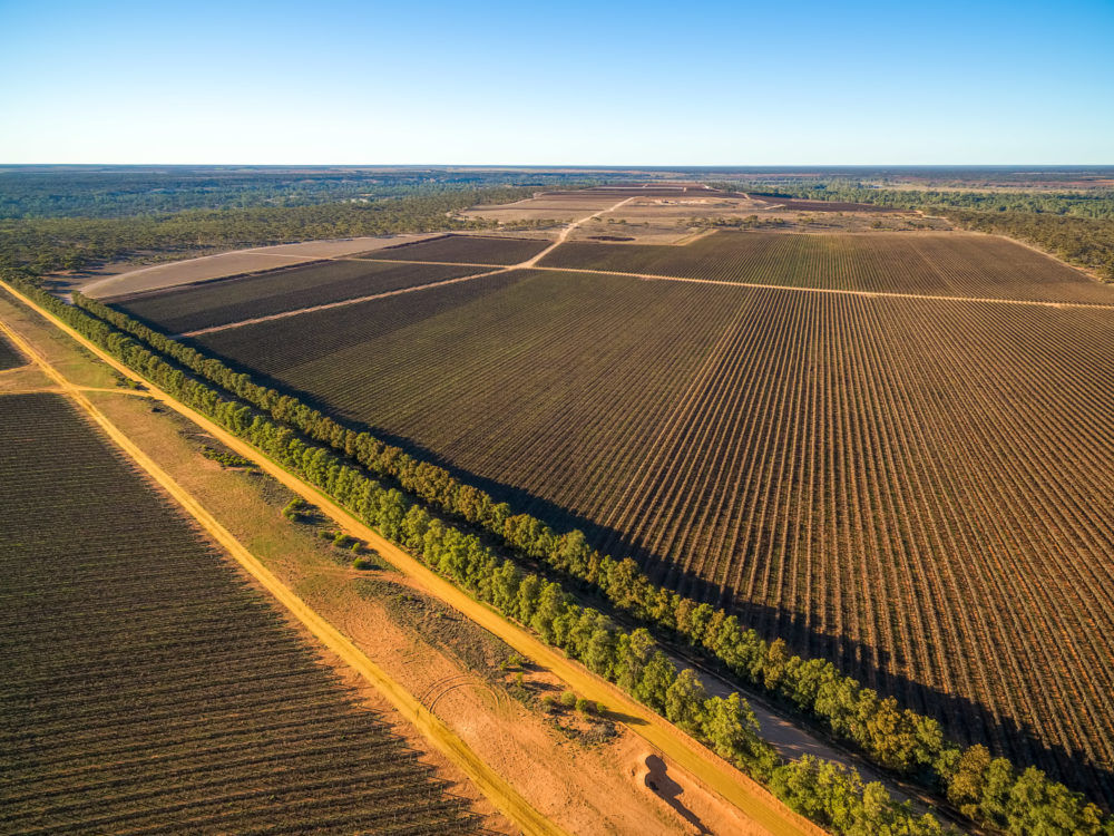 Large vineyard in Kingston on Murray, Riverland, South Australia - aerial view