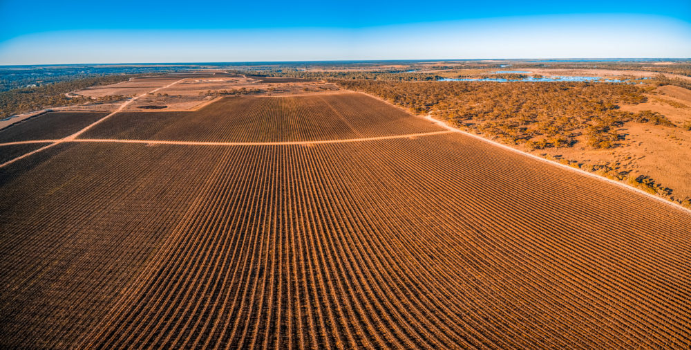 Beautiful vineyard in Kingston on Murray, Riverland, South Australia - aerial panoramic landscape
