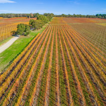Perspective view of straight rows of grape vines in autumn