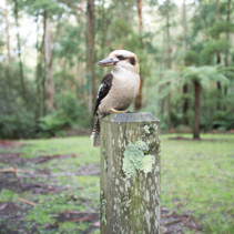 Laughing Kookaburra sitting on wooden pole