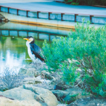 Little Pied Cormorant bird perching on rocks near pond