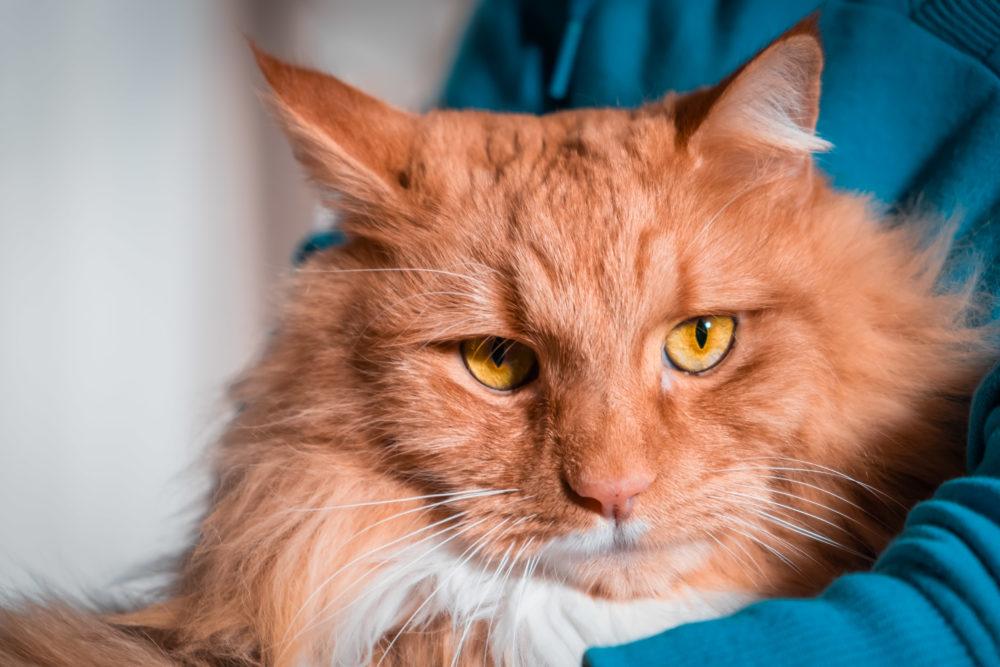 Person holding ginger cat - closeup portrait
