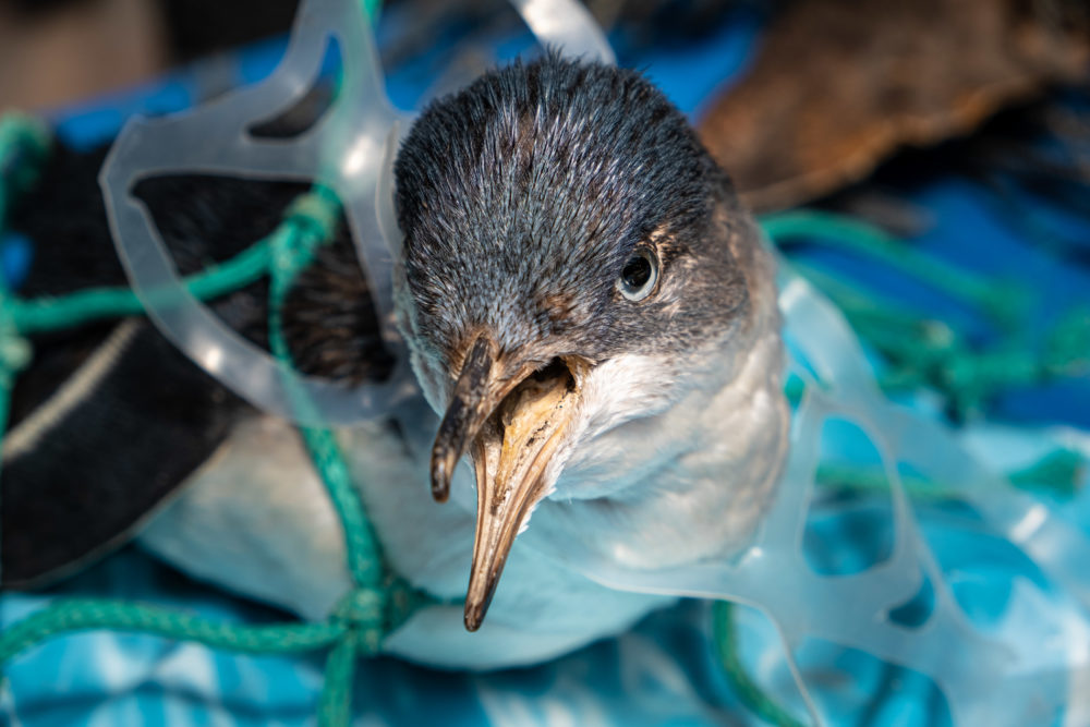 Marine plastic pollution and nature conservation concept - penguin trapped in plastic net