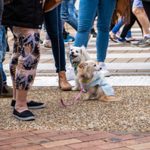 Two small and cute fluffy dogs among large crowd of human feet in motion
