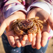 Girls hands holding a crab on the beach - closeup