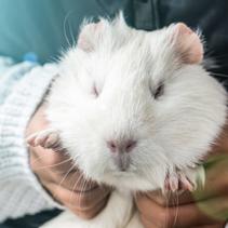 Girl holding a white guinea pig closeup