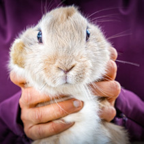 Woman holding a rabbit with funny look on its face - closeup