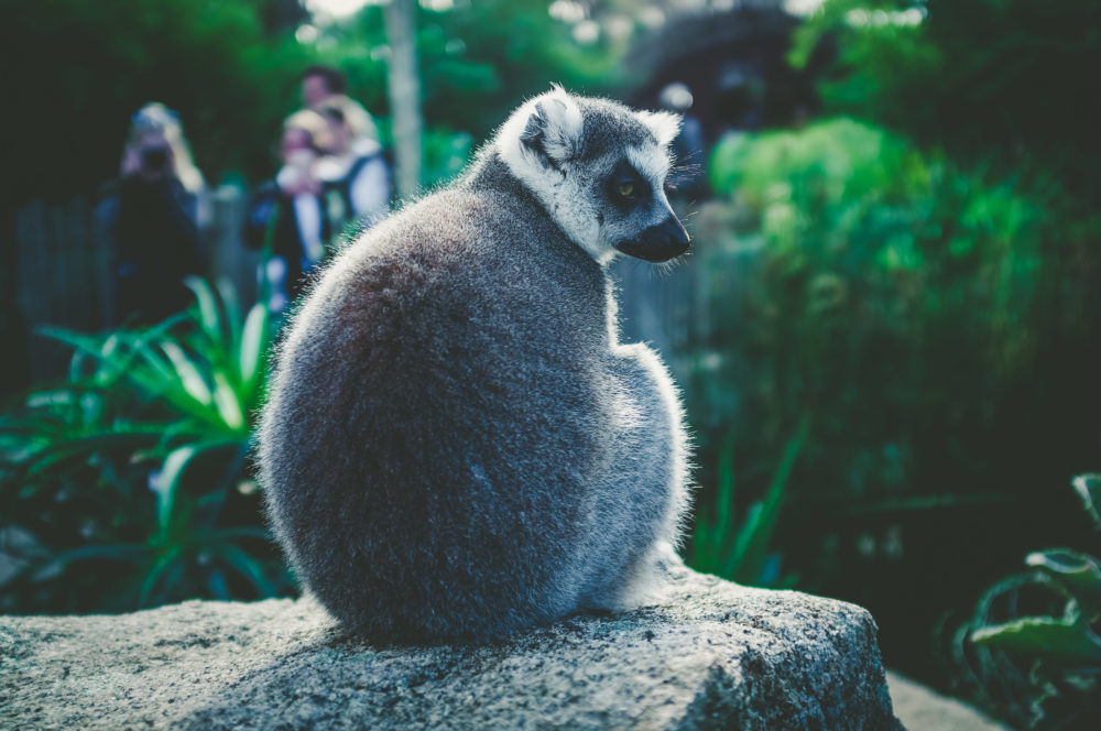 Portrait of Ring Tailed Lemur sitting on a stone on blurred background