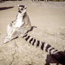 Ring tailed lemur meditating. Wisdom and contemplation concept with copy space