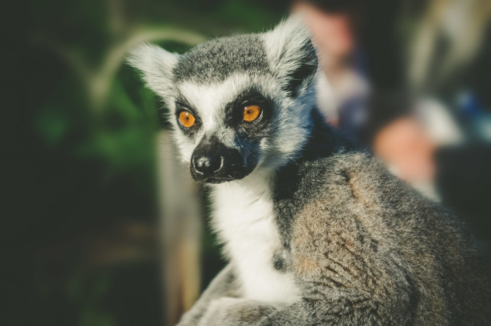 Ring tailed lemur portrait on blurred background.