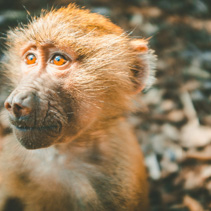 Baboon monkey in ray of light closeup portrait on blurred background