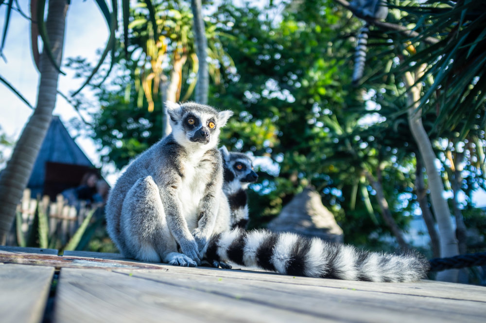 Ring tailed lemurs sitting on wooden floor