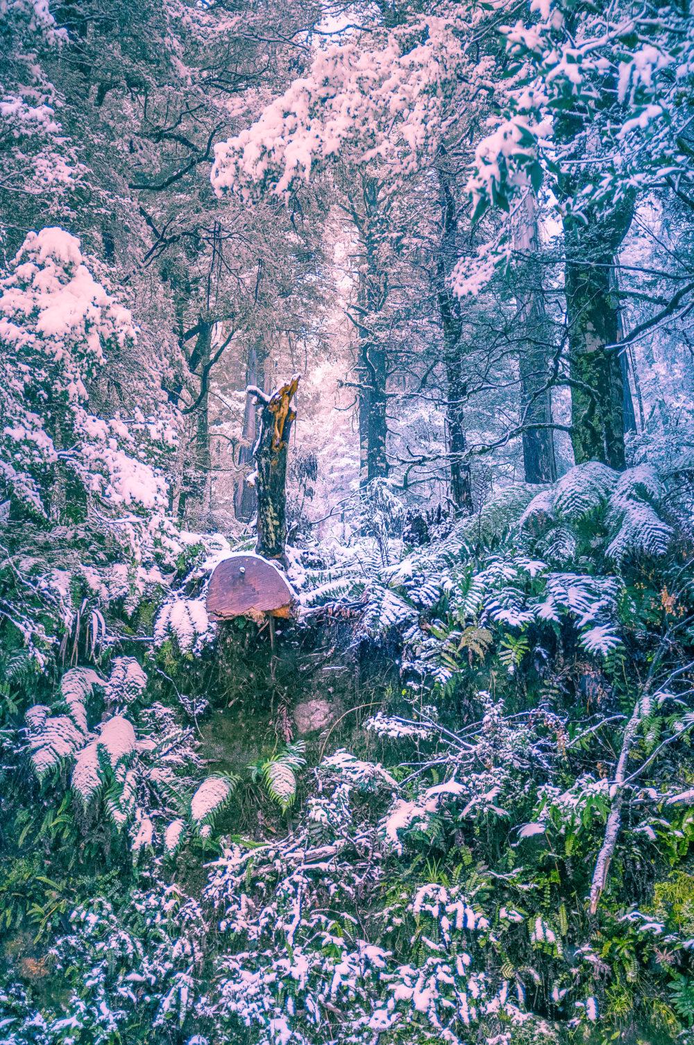 Heavy snowfall in eucalyptus forest