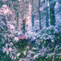 Heavy snowfall in eucalyptus forest