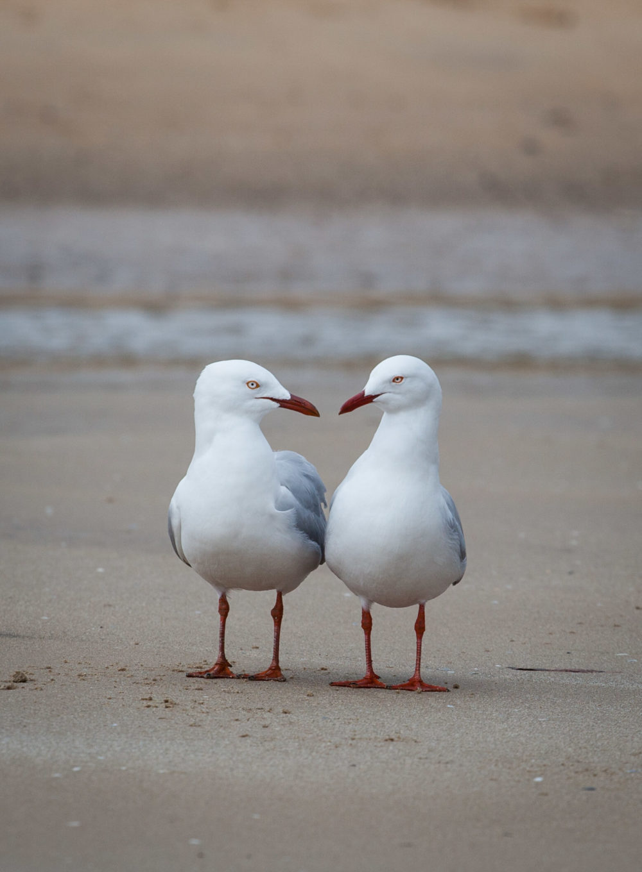 Two seagulls having conversation on a beach