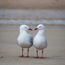 Two seagulls having conversation on a beach