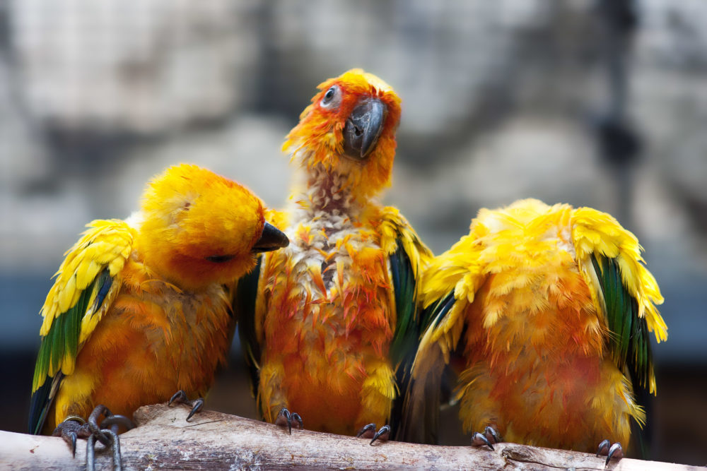 Three Sun Conure parrots sitting on a brang and communicating with each other.