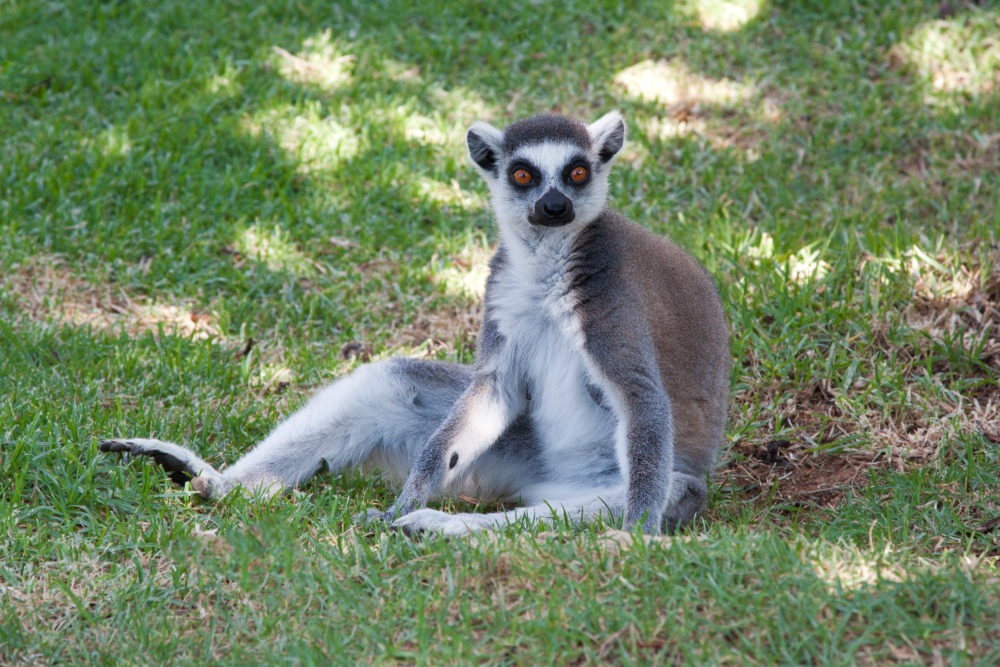 Ring Tailed Lemour Sitting in the grass