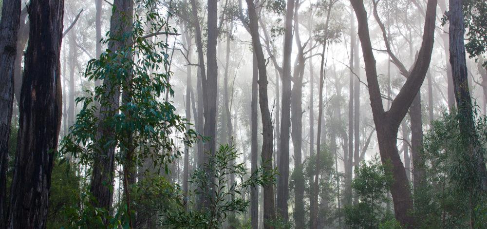 Australian Eucalyptus Rainforest in the morning mist
