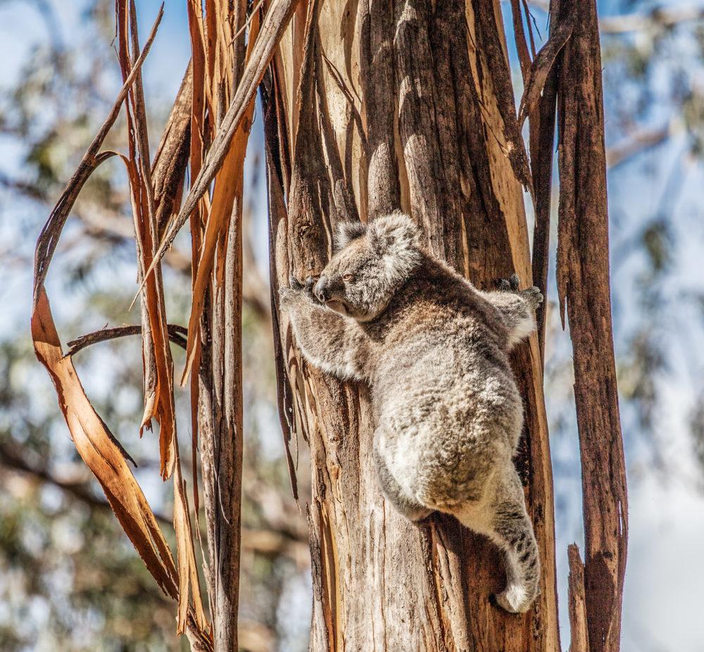 Koala bear climbing up the tree in Australia