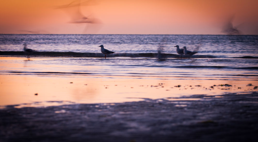 Seagulls silhouettes in shallow low tide ocean water at sunset