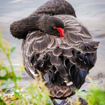 Black Swan is resting his head in feathers