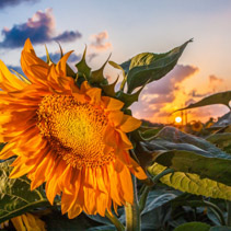 Closeup of sunflower in the field facing away from the setting sun