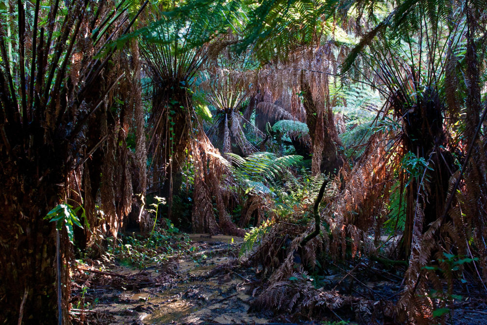 Huge ferntrees in tropical rainforest