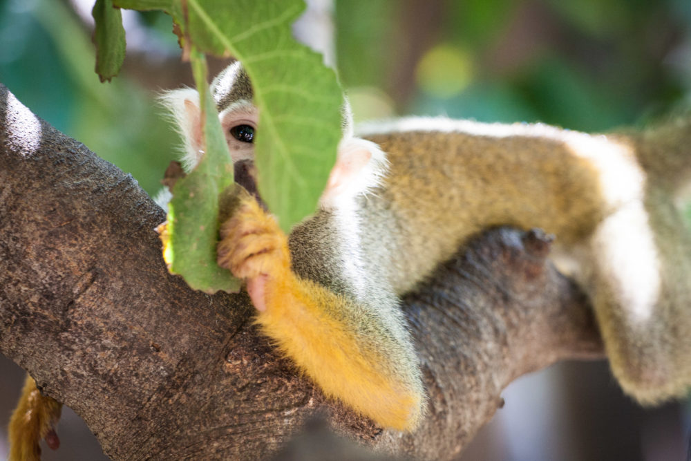 Cute Squirrel Monkey looking playfully through leafs