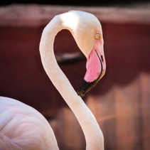 Closeup of Pink Flamingo curving gracefully its neck.